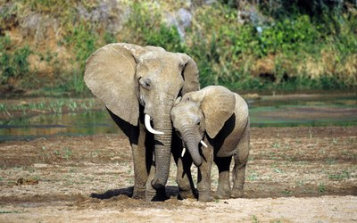 Призыв в защиту слонов