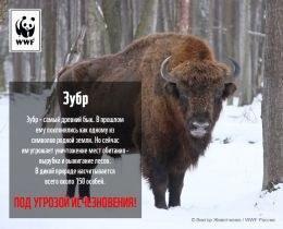 Защитим амурского тигра, снежного барса и зубра