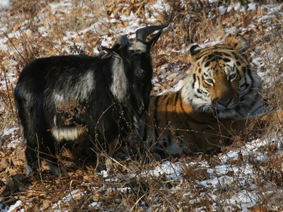 Про Тигра Амура и козла Тимура. Из переписки с друзьями (7)