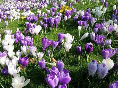 В Царском Селе акция «Крокус: ждем весну»