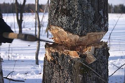 ЗакС одобрил неограниченную вырубку городских лесов